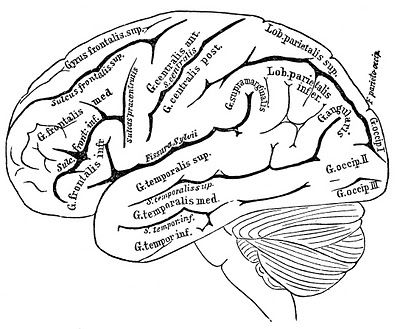 Vintage Anatomy Images - Human Brain Anatomy Coloring Book, Heart Coloring  Pages, Coloring Books