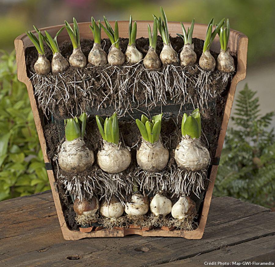 Épinglé sur bulbos de tulipan