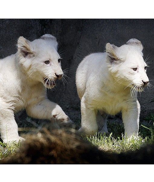 Two white lion cubs explore their enclosure while being shown to the