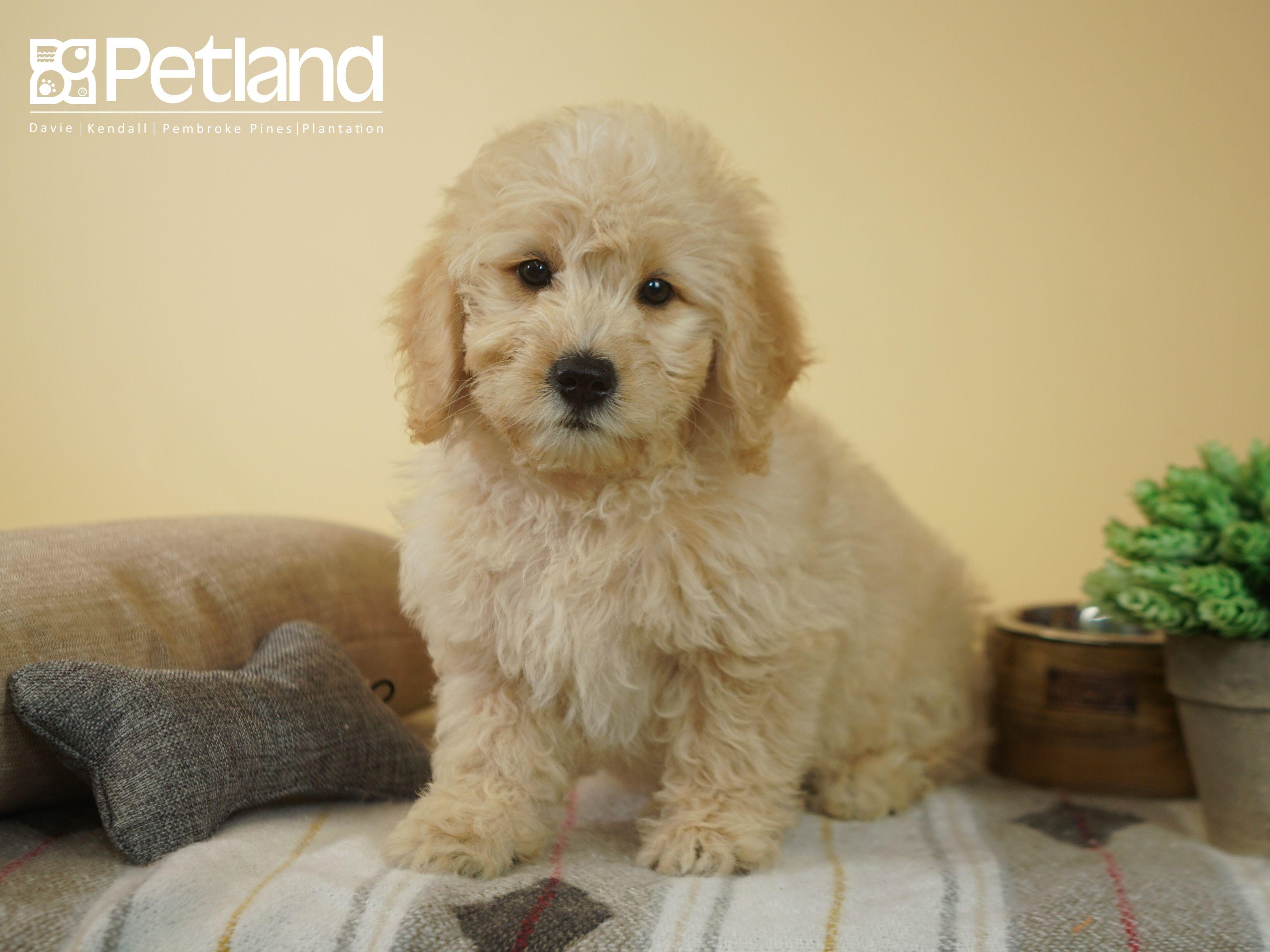 Puppies For Sale Puppy Friends Mini Goldendoodle Puppies Goldendoodle Puppy
