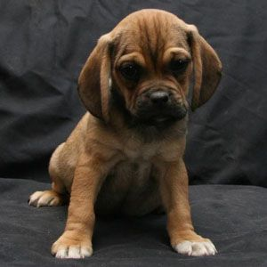 Puggle Puppies For Sale By A Reputable Puggle Breeder Felix