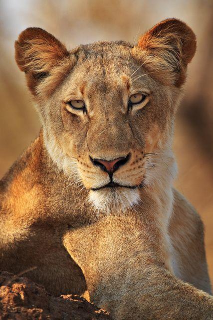 The Lioness - via Raphael Drobot's photo on Google+