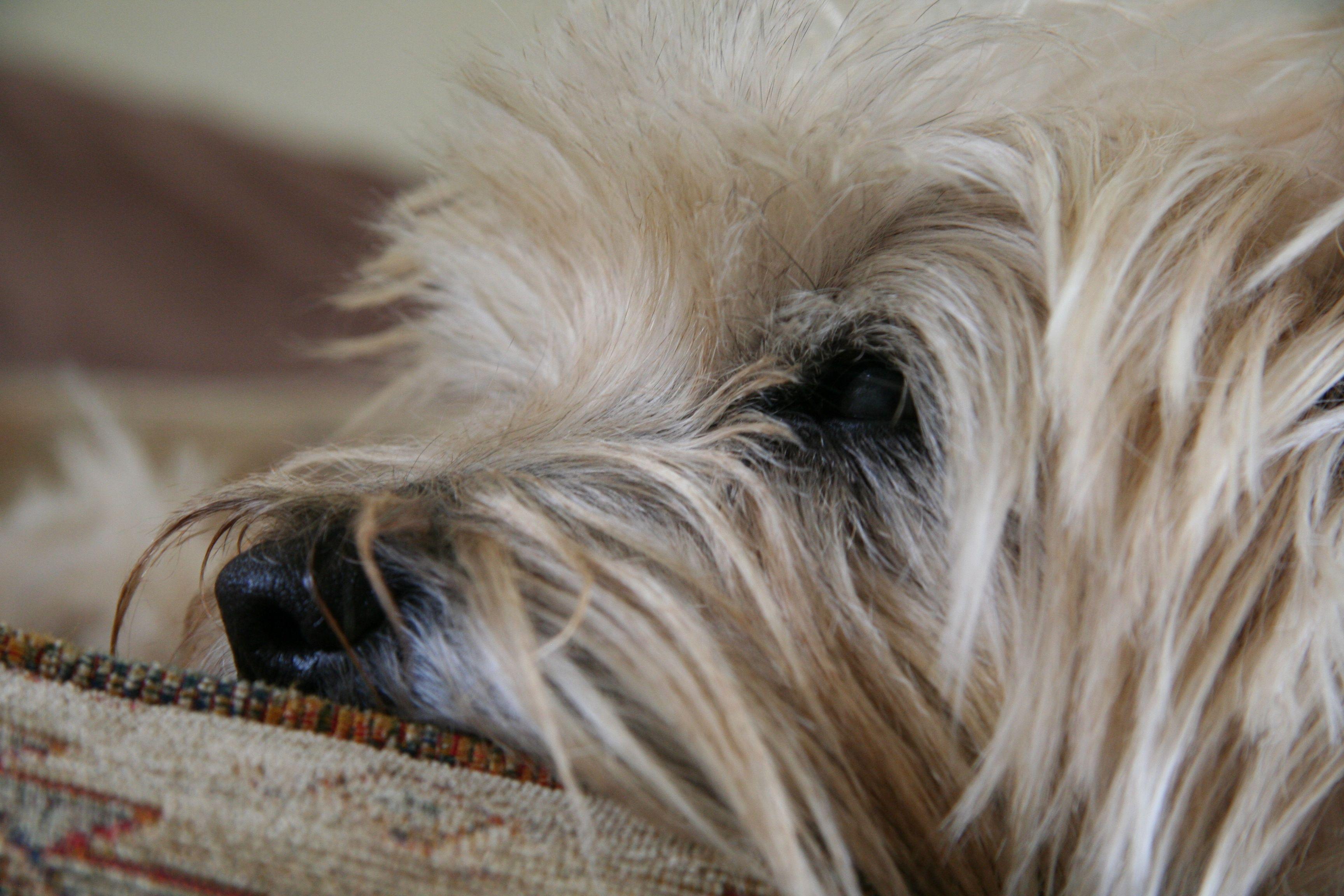 Cairn Terrier Wheaten Just Smoozing Cairn Crazy 10 Cairn