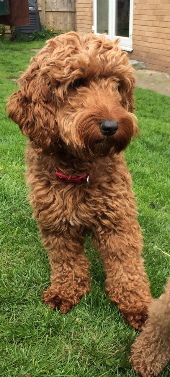 Our beautiful red F1 Cockapoo Darcy is expecting a litter