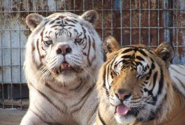 Say Hello To Kenny The Inbred White Tiger With Down Syndrome Albino Animals Down Syndrome Tiger