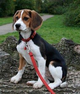 Five Healthiest Dog Breeds Dog Breeds Beagle Dog Healthiest