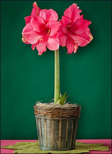 Allium Ampeloprasum (Spanish Allium) #amaryllisdeko