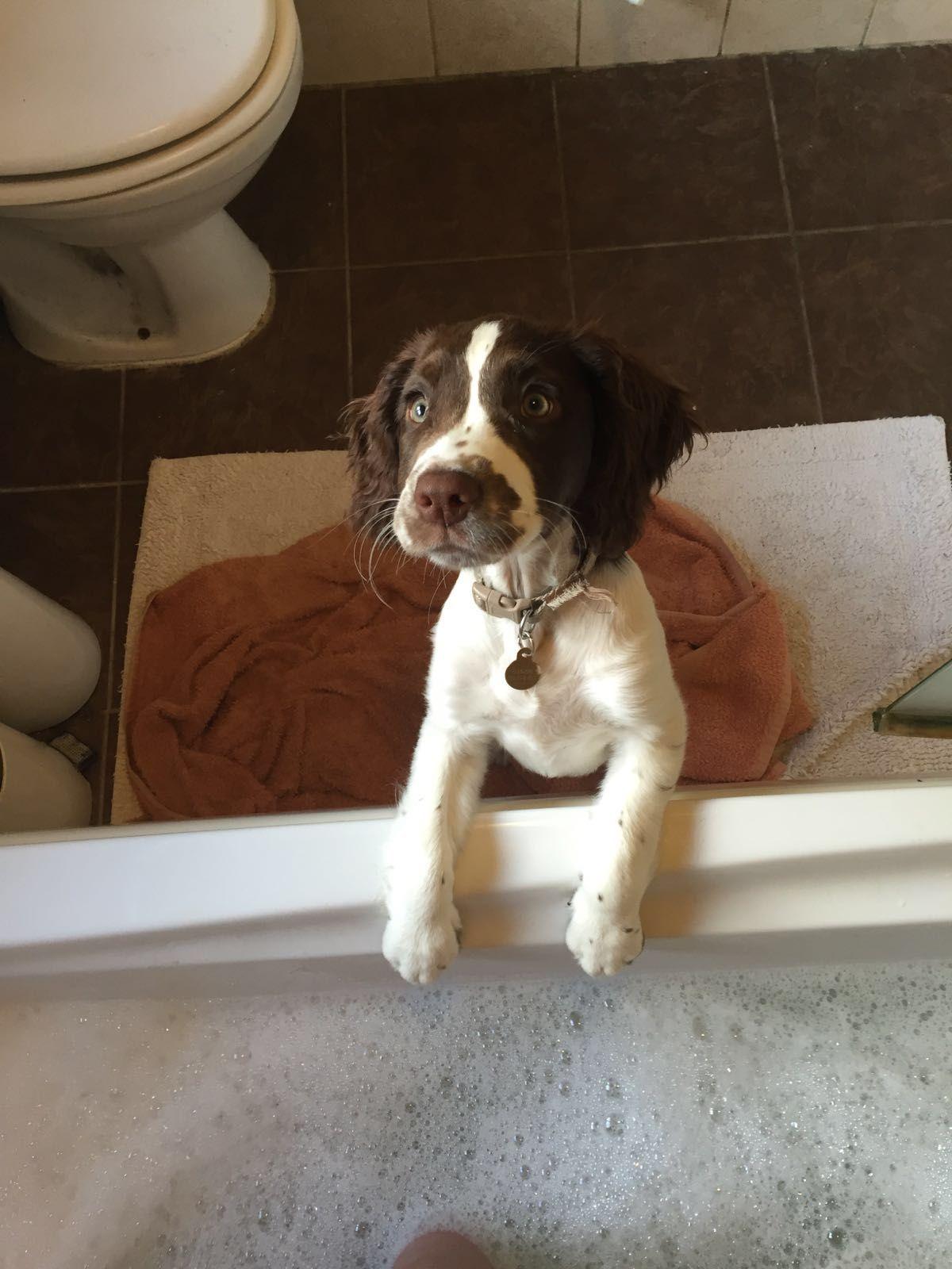 Bella - my Springer Spaniel puppy