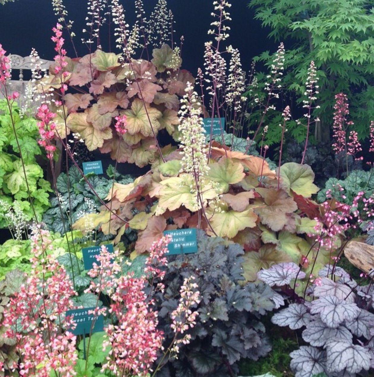 Heuchera RHS Tatton Flower Show Garden 2014