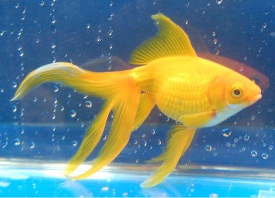 Goldfish My Yellow Watonai Goldfish Comet Goldfish Fish Pet