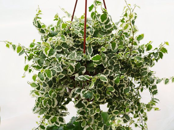 Large 12 Creeping Fig Plant Office Plant Wall Plant Hanging