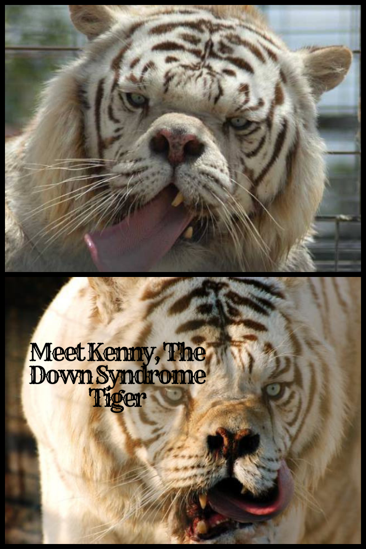 down syndrome tiger