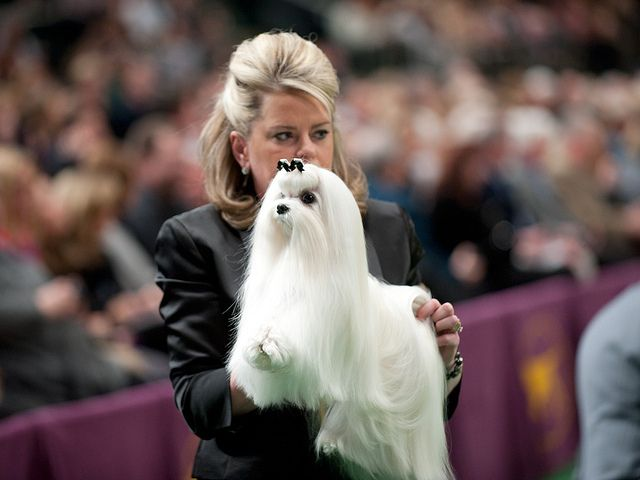 Westminster Kennel Club Dog Show Maltese Dogs Dog Show