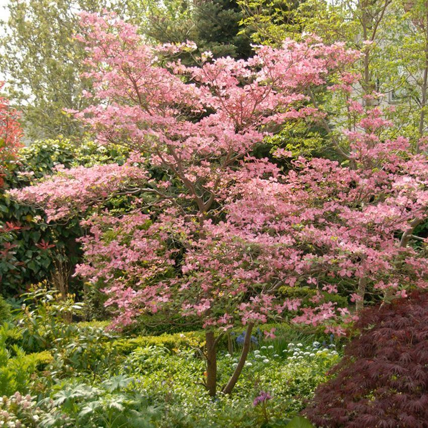 Pink Dogwood Fast growing trees, Growing tree, Flowering