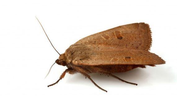 Les teignes sont de minuscules papillons (environ 6 mm) couramment ...