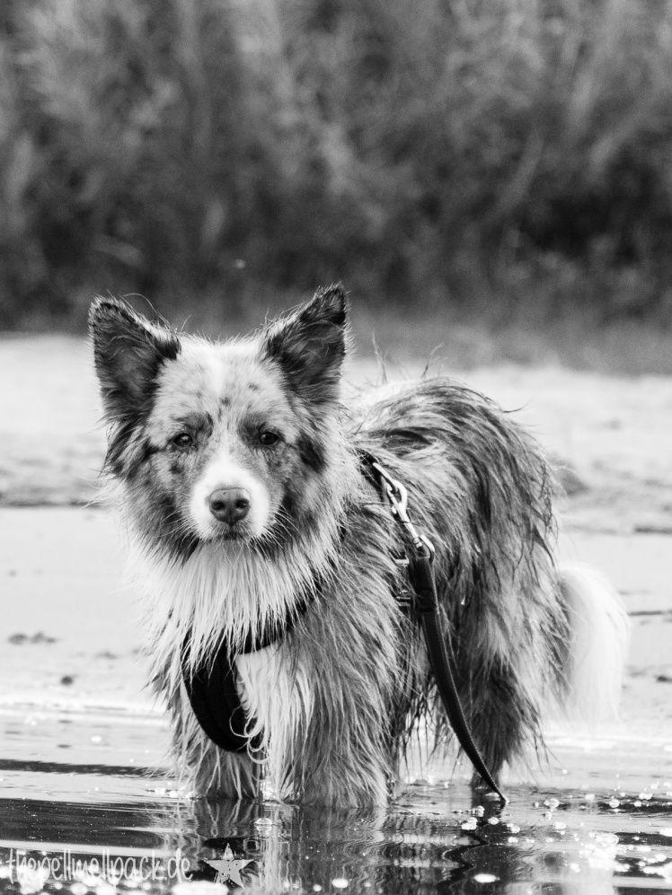 Wasserhund Hunde Fotografie Australian Shepherd Thepellmellpack Com Pell Mell Pfotografie Australian Shepherds Hunde Hunde Bilder