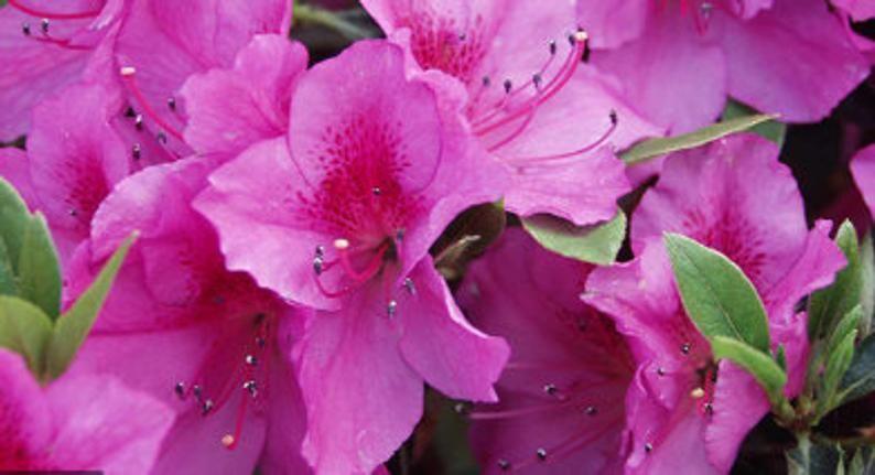 Azalea Formosa Etsy In 2020 Early Spring Flowers Plant Gifts Flower Farmer
