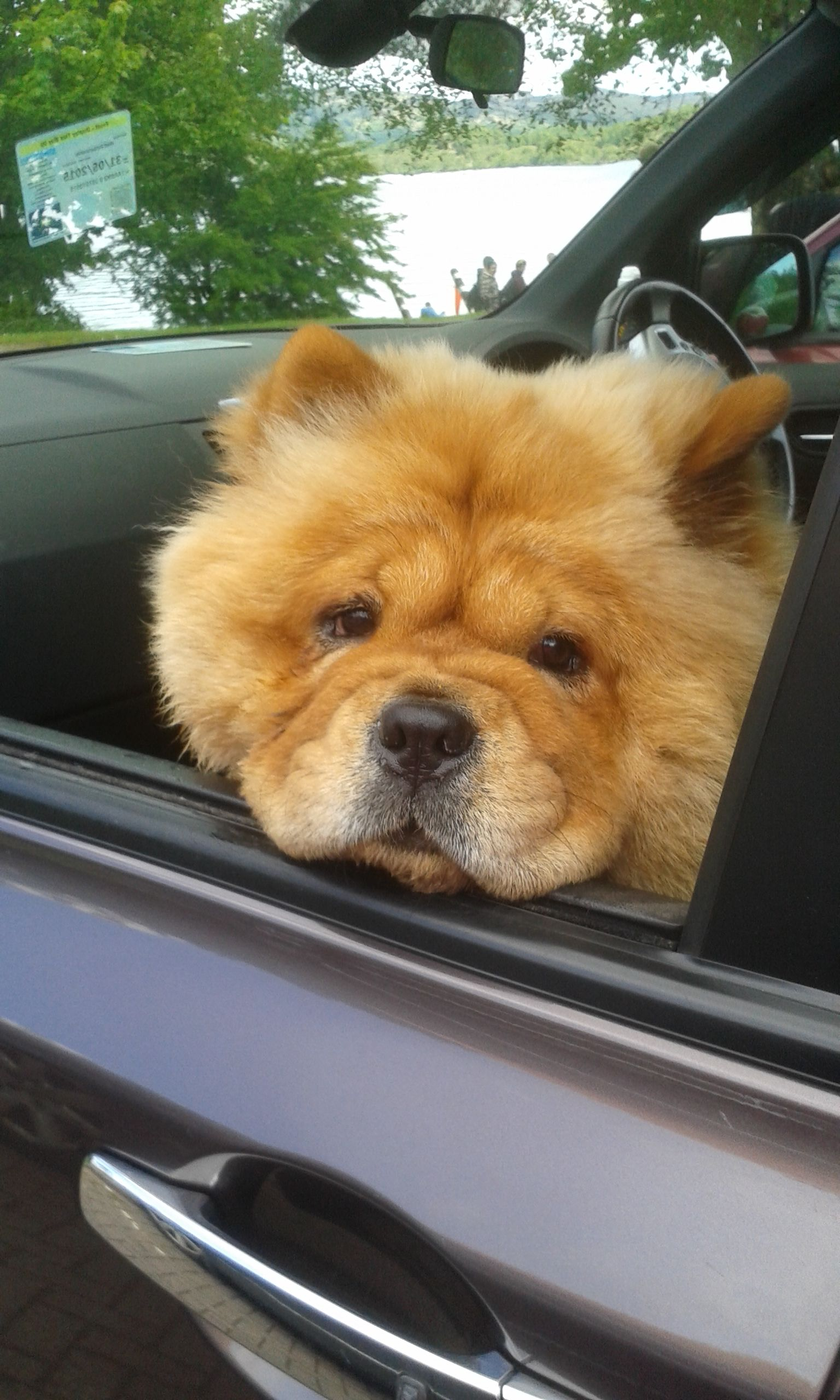Mishka Co Pilot Seat In The Car Cute Funny Animals Chow Chow Dogs