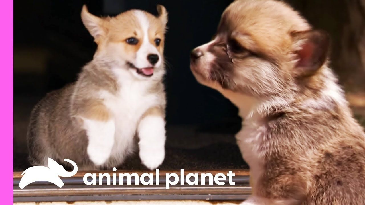 Corgi Pups Explore The World On Their Tiny Legs Too Cute