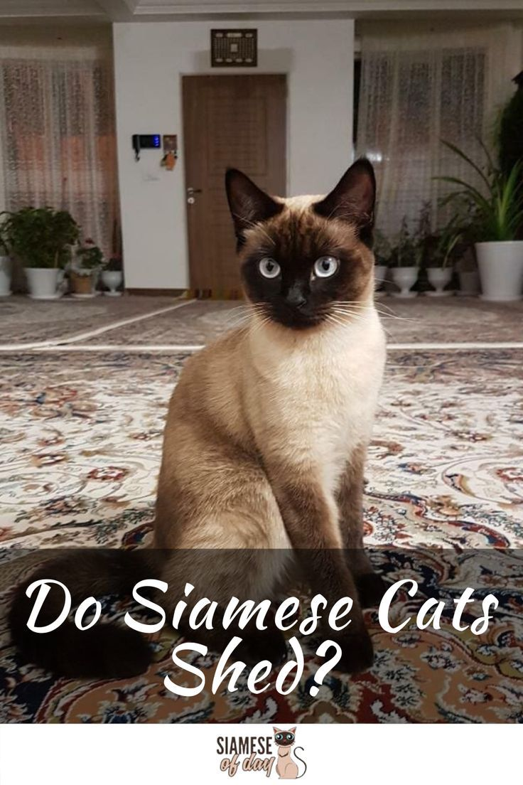 Do Siamese Cats Shed? Siameseofday in 2020 (With images
