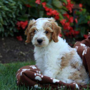 Puppy Finder Puppy Finder Greenfield Puppies Puppies