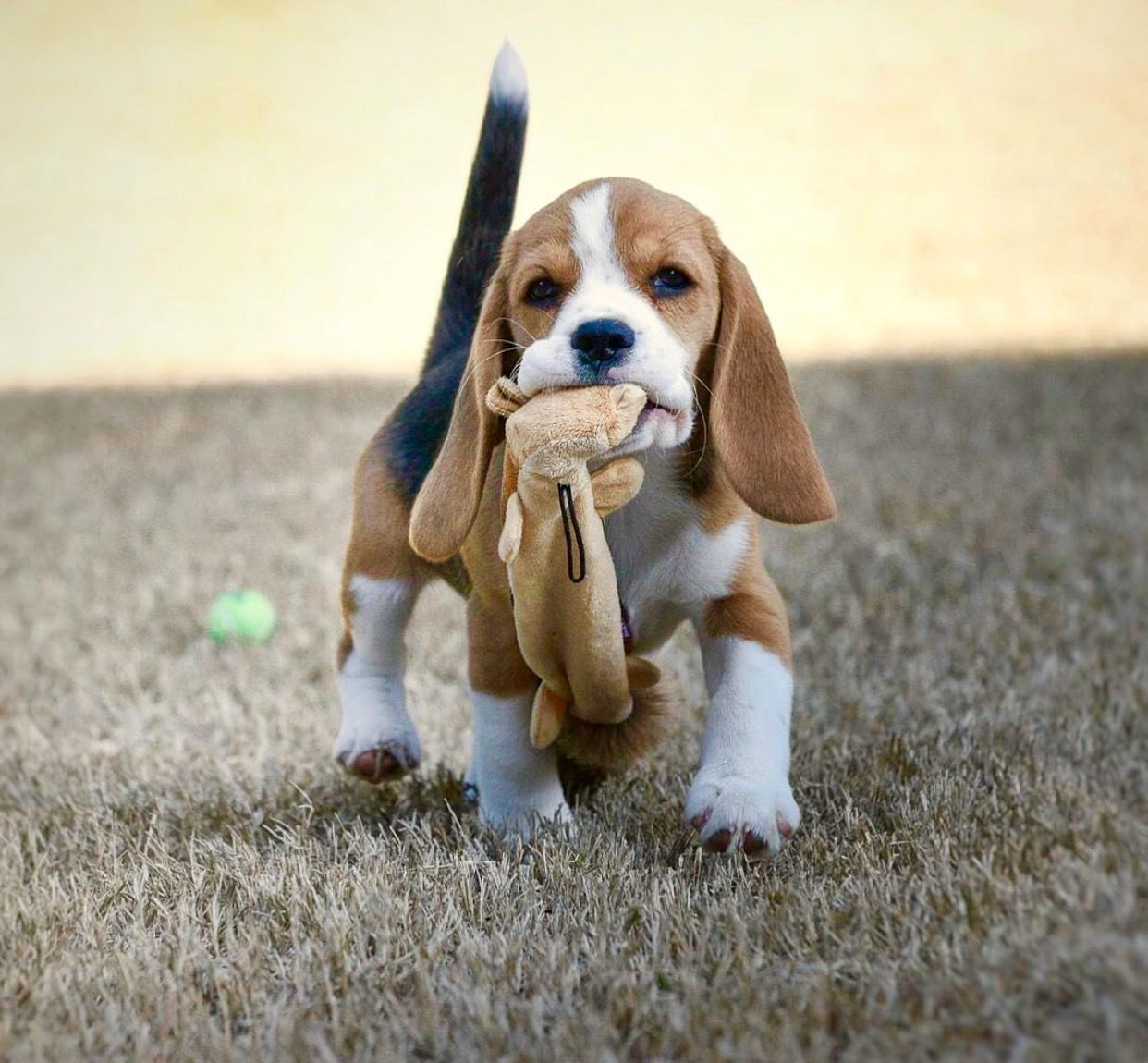 Beagle Friendly and Curious Beagle puppy, Puppies