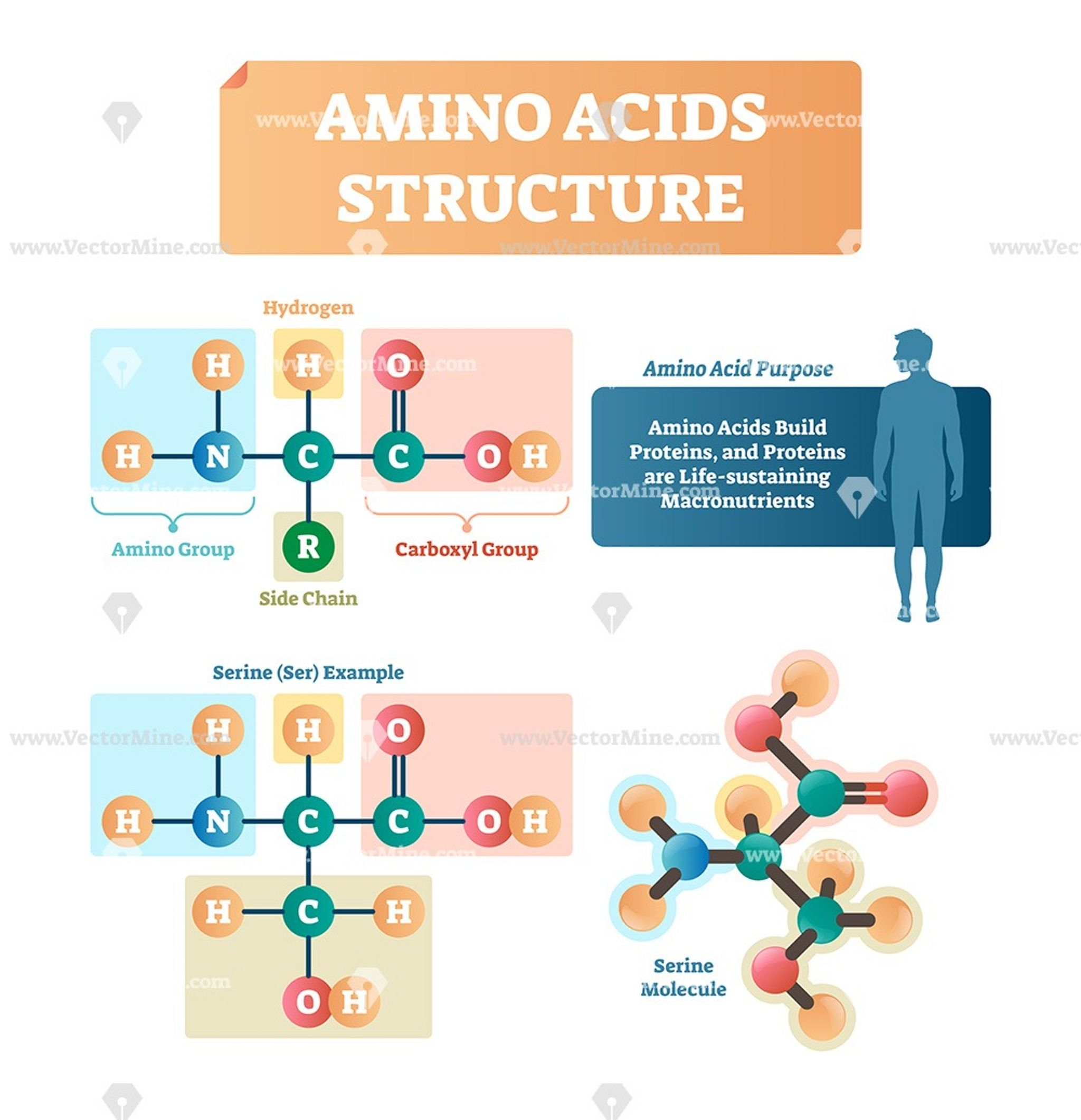 Amino Acids Structure Vector Illustration Infographic Amino