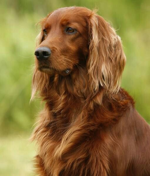 Irish Setter Dog Art Portraits Photographs Information And Just Plain Fun Also See How Artist Kline Dr Chiens Setter Irlandais Setter Irlandais Chien Setter