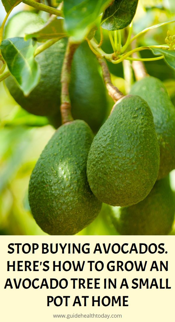 Stop Buying Avocados Here S How You Can Grow An Avocado Tree In A Small Pot At Home In 2020 Avocado Health Benefits Herbalism Growing An Avocado Tree