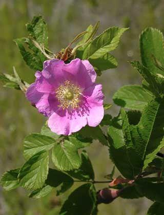 Karjalanruusu, Rosa acicularis - Puut ja pensaat - LuontoPortti