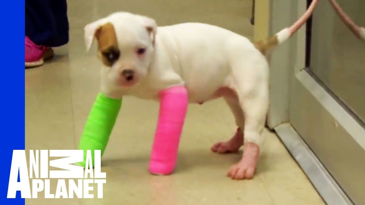 Remember Blanche Cute Puppy In Casts Pitbulls Parolees Cute Puppies Pitbulls Cute Puppy Names