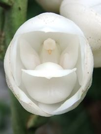 Holy Spirit Orchid So Called Because It Resembles A Figure Of A Dove Orchid Flower Orchids Flower Identification