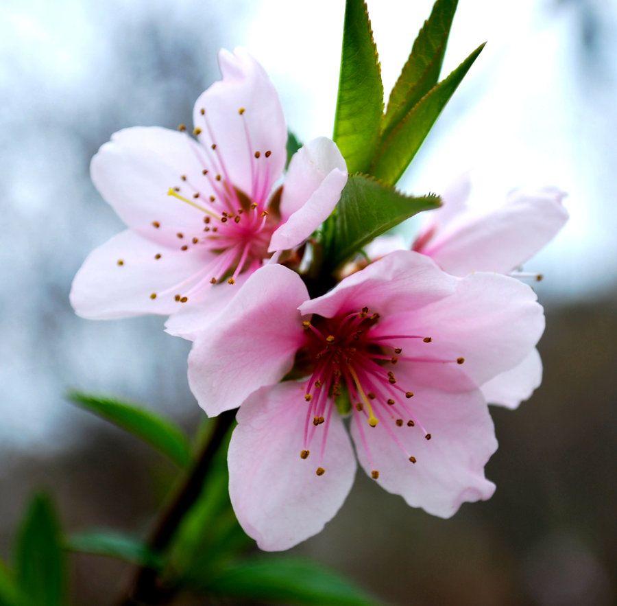 Korean Cherry Blossoms By Socallmenothing On Deviantart Cherry Blossom Flowers Botanical Flowers Flower Painting