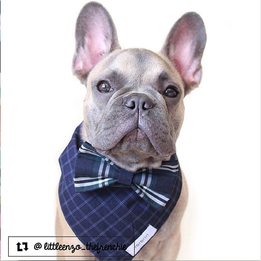 Little Enzo The French Bulldog From San Juan Puerto Rico Dog