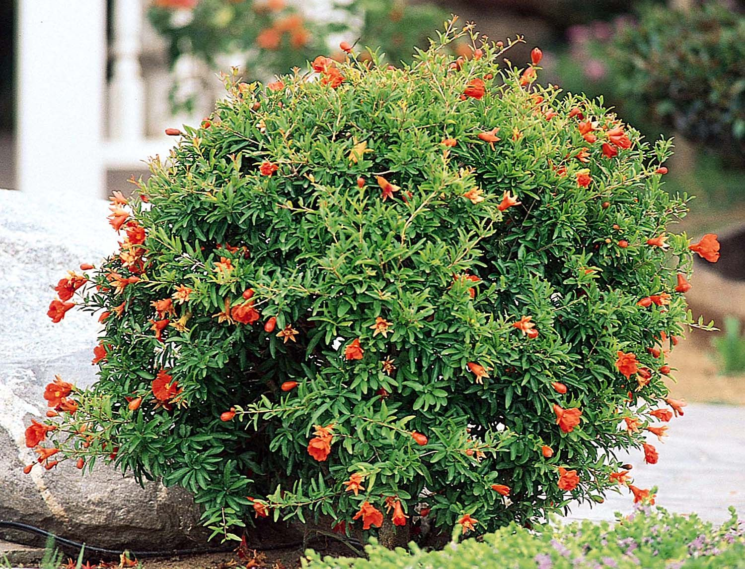 Dwarf ornamental trees for landscaping - Dwarf Pomegranate This Compact Little Shrub Will Show Off Orange Red Blooms In Spring