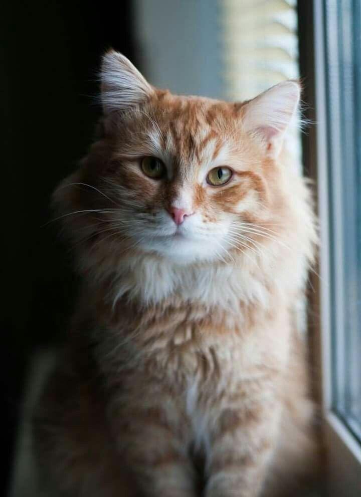 Кот Пряник ищет дом...   Собаки, Кот и Кошки