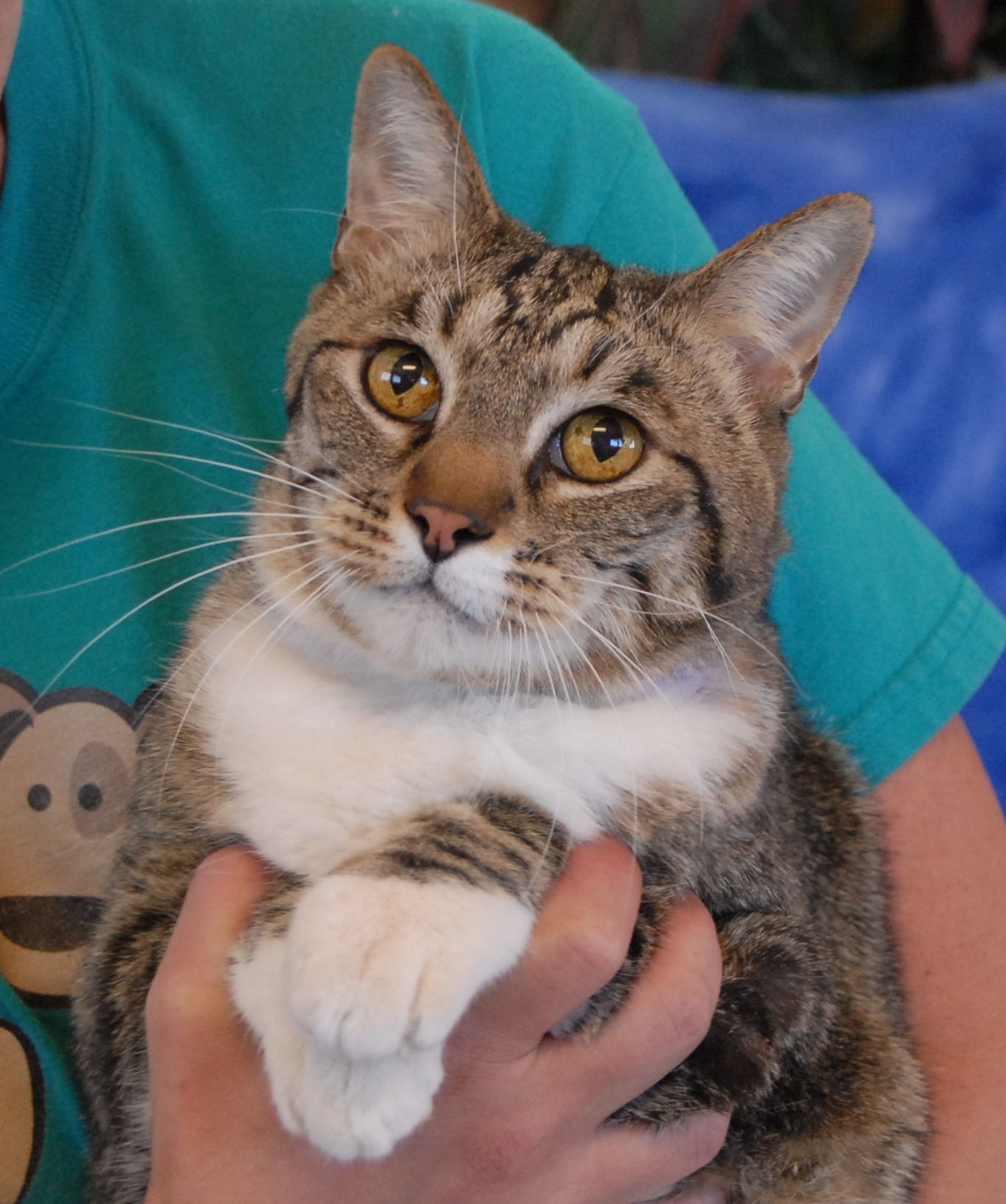 Chucky is a social boy who looks up to you with the most devoted eyes and he likes to chat softly with you throughout the day for reassurance.  He is a very handsome brown tabby with white, about 6 years of age, neutered, and debuting for adoption today at Nevada SPCA (www.nevadaspca.org).  Chucky was reportedly abandoned in a neighborhood, found a home with an open door, and then entered to be given food and protection.