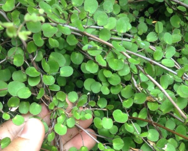 Le Muelhenbeckia Est Une Petite Plante Couvre Sol Decorative Grace