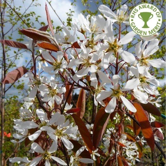 Amelanchier lamarckii Tree Flowering trees, Trees to