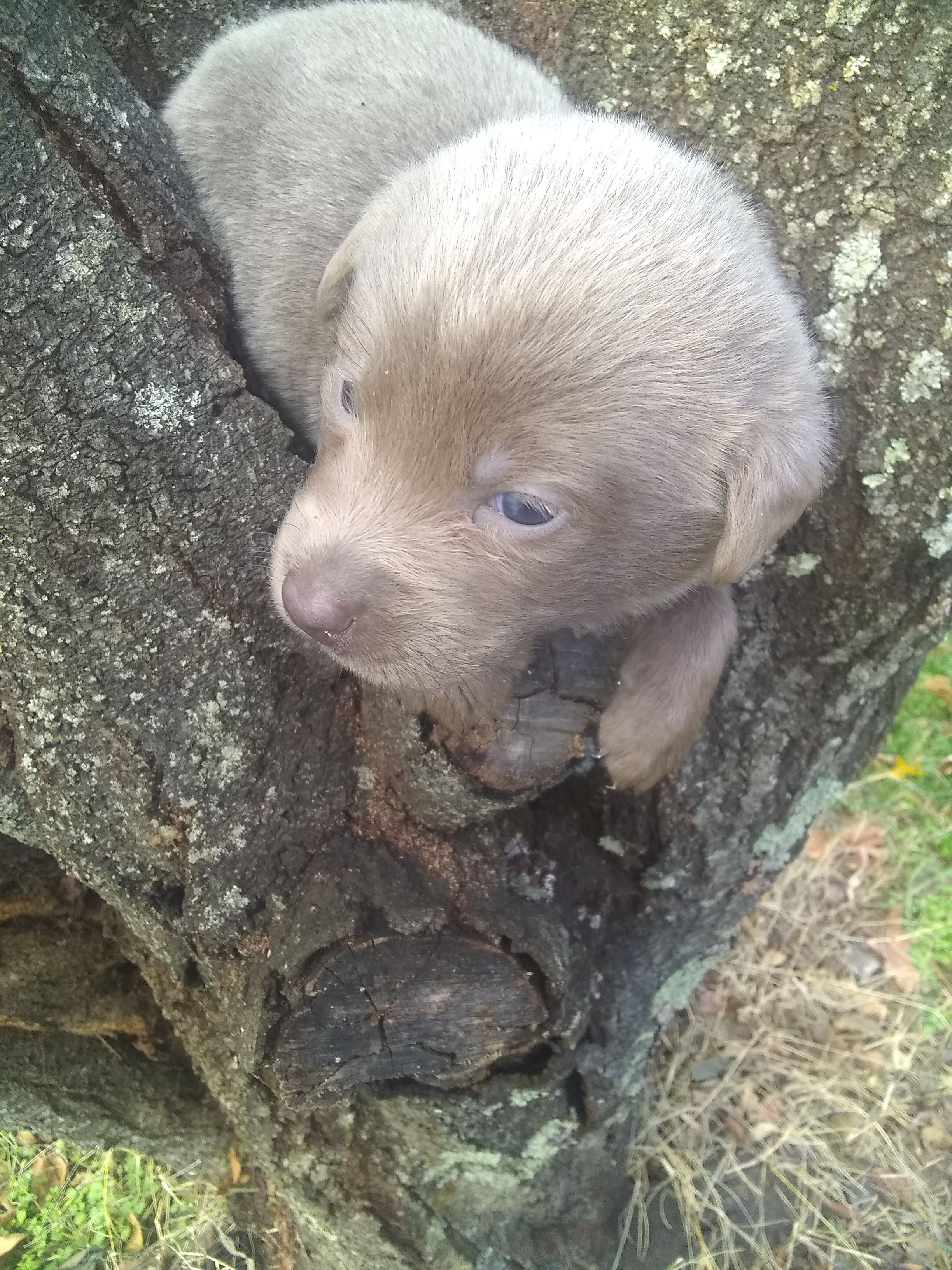 Stormy female AKC Labrador Retriever puppy for sale at