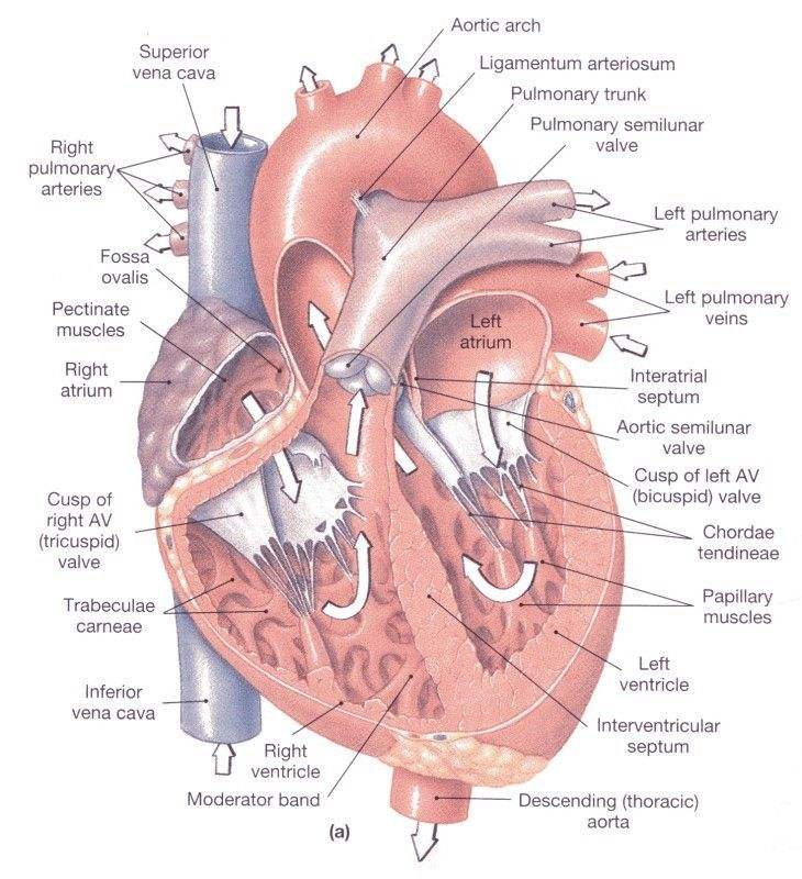 Mcgraw Hill Animations Crossfit Physiology Anatomy Heart