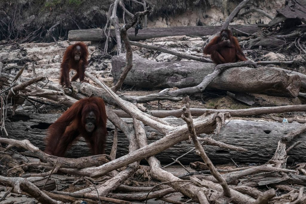 Heartbreaking Photos Show Endangered Orangutans Navigating