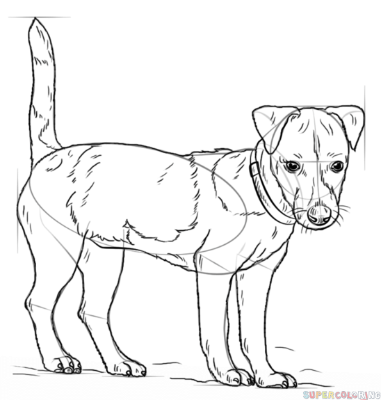 How To Draw A Jack Russell Terrier Step By Step Drawing Tutorials
