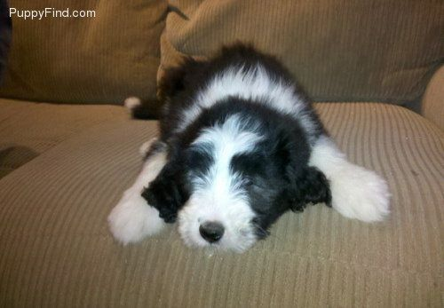 Bearded Collie Dogs Pinterest Dogs Bearded Collie And Pets