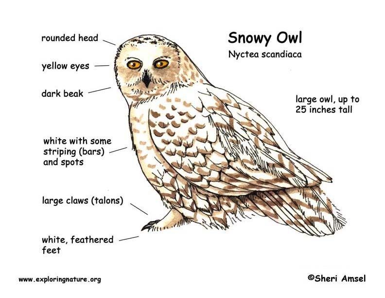 Snowy owl diagram outdoor science school activities for Food bar owl