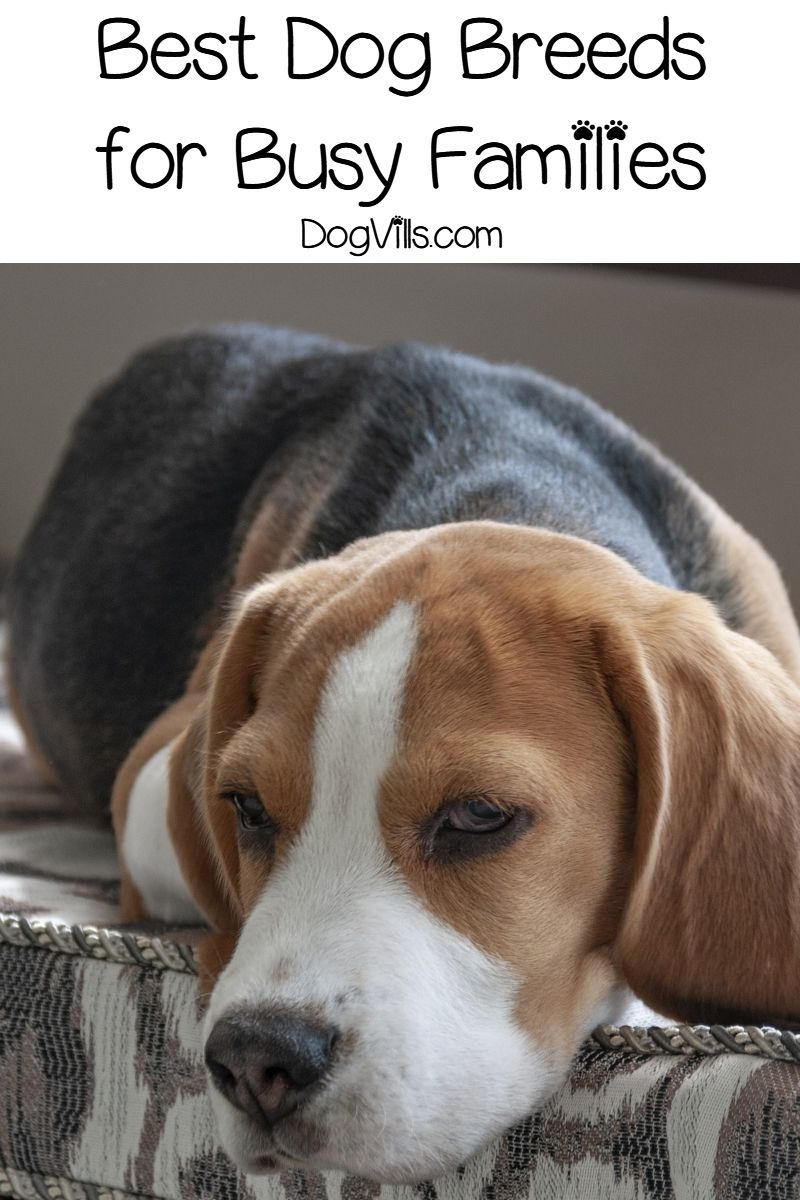 The Top 5 Best Dogs for A Busy Family Best dogs for