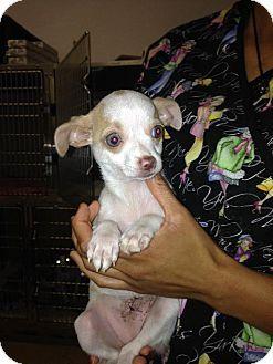Brooksville Fl Chihuahua Meet Georgia A Puppy For Adoption