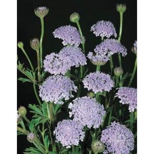 Blue Lace Flower Lavender Blue Didiscus Caeruleus 20 Annual Seeds Ebay Flower Seeds Blue Flower Wallpaper Flower Care