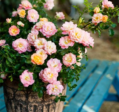 Peach Drift® | Star® Roses and Plants