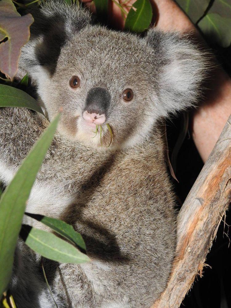 Pin by Ers on animals Cute koala bear, Koala marsupial